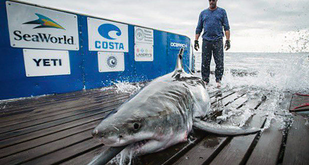 Great white shark tracked in Long Island Sound off coast of Connecticut