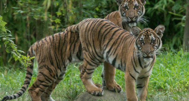Bronx Zoo's Malayan tests positive for coronavirus